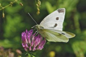 kelebek Pierisrapae