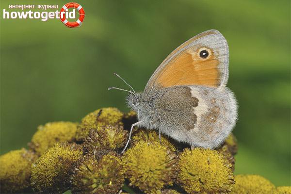 Butterfly Sennitsa