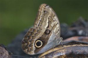 Cú bướm