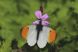 Bình minh bướm