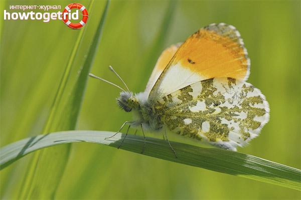 Jak rodzi się motyl świtu
