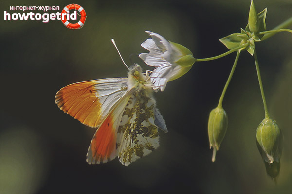Jak żyje motyl świtu?