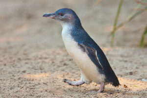 Pingüí petit