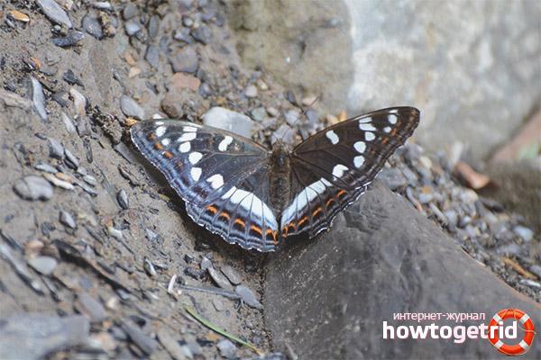 Band Schmetterling Lebensstil