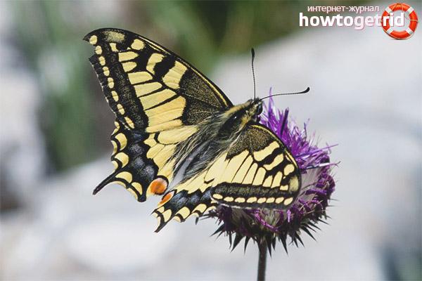 Schwalbenschwanz Schmetterling Lebensstil