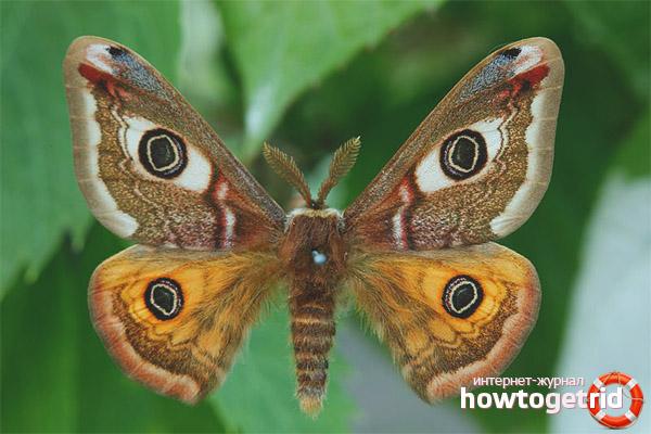 Pfauenauge Schmetterling Lebensstil