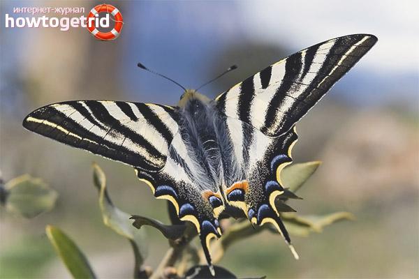 Podalirium w stylu motyla