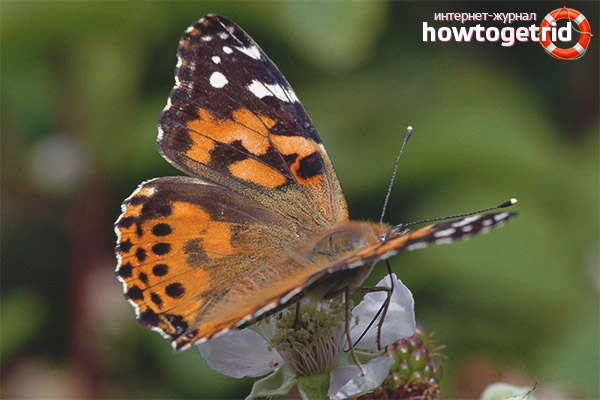 Styl życia Lady Butterfly