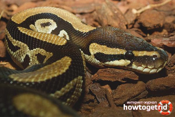 Mode de vie Royal Python