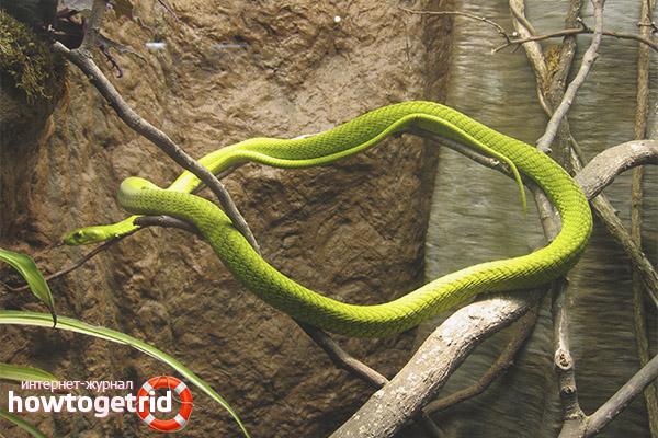 Caractéristiques du comportement du mamba vert