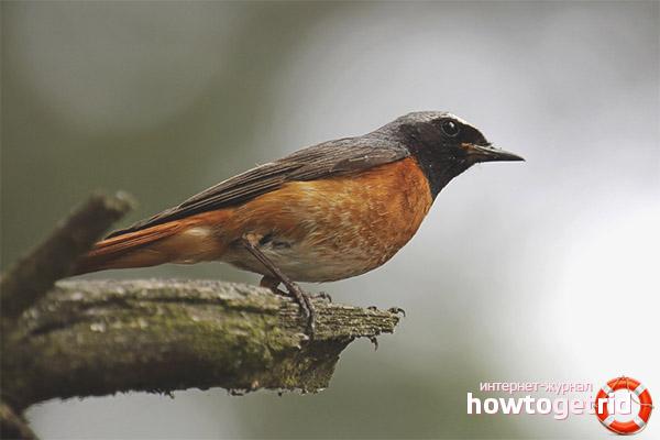 Đặc điểm của nhân giống Redstart