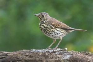 Ocell de cançó