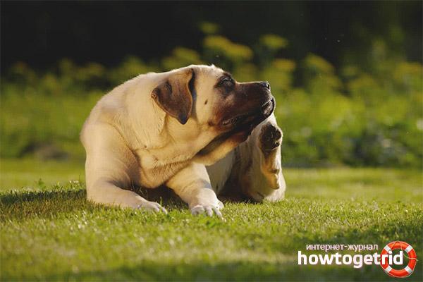 Warum juckt ein Hund, wenn es keine Flöhe gibt?