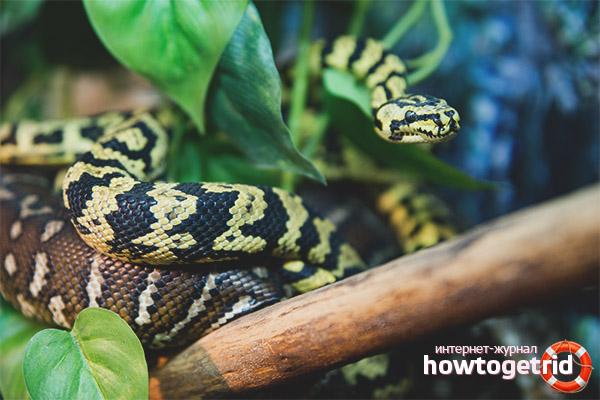 Comportement du tapis Python à l'état sauvage