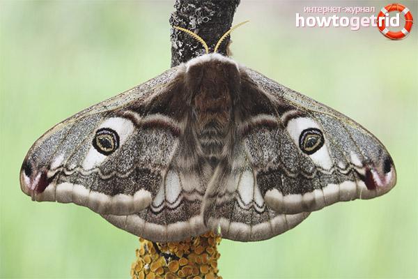 Pfauenaugen-Schmetterlingsaufstrich