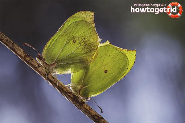 Motyl hodowlany motyl