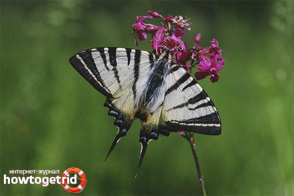 Hodowla motyli Podalirium