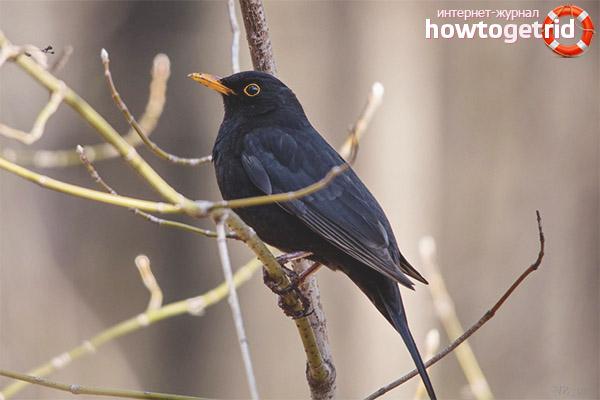 Nuôi Blackbird