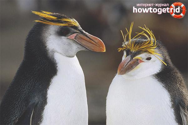 Crested Penguin Breeding