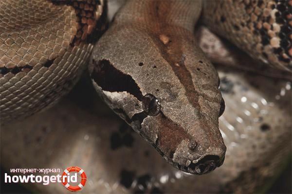 Zucht Common Boa Constrictor