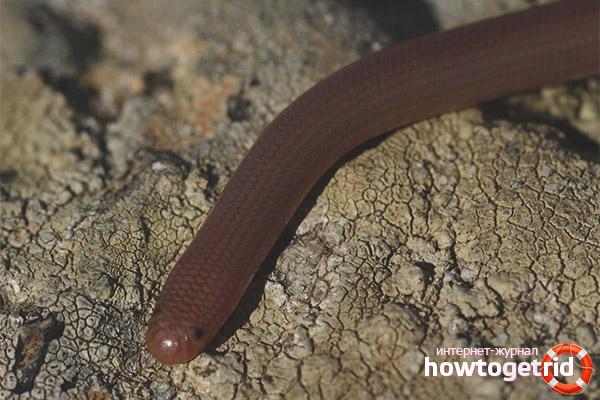 Fortpflanzung der blinden Schlange