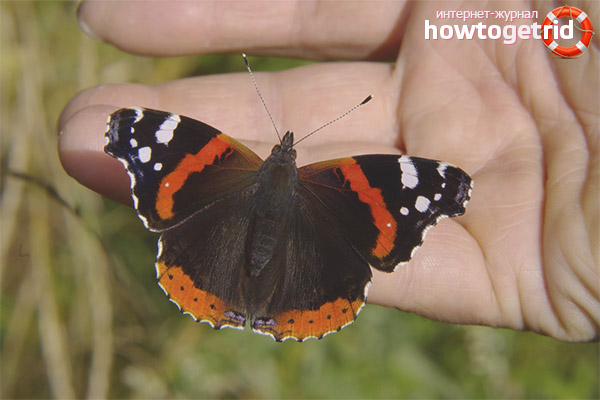 Odmiany Admiral Butterfly