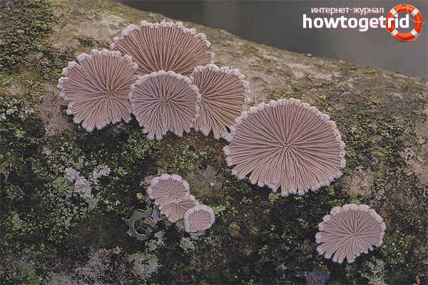 Comuna Schizophyllum