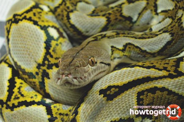 Python maillé