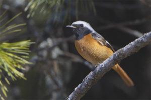Siberia Redstart