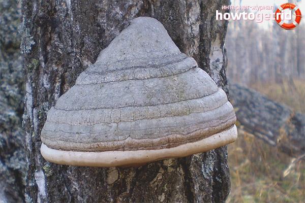 Proprietățile ciupercii de liant