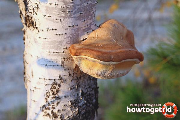 Tinder ciupercă de mesteacăn