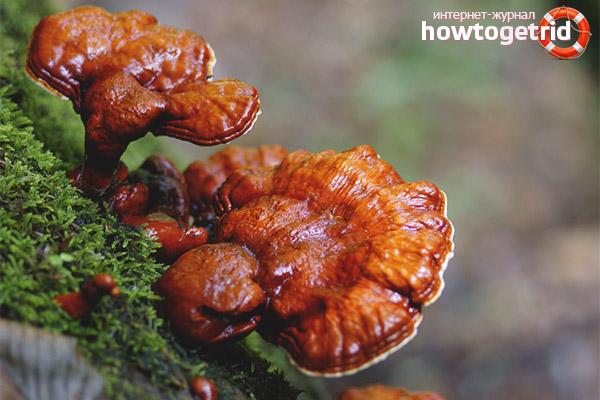 Ciuperca tinder lăcuită