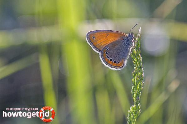 Cykl życia i reprodukcja potomstwa motyla Sennica