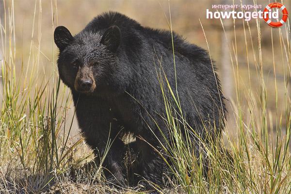 Amerikansk svart björn