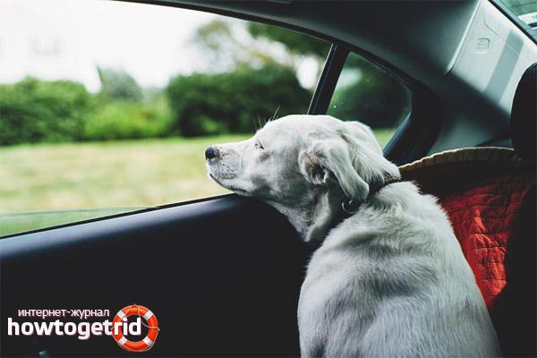 Cum să scapi de boala de mișcare a unui câine într-o mașină