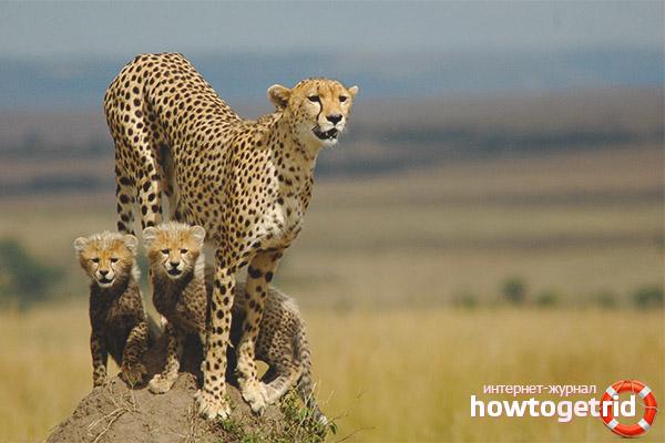 Cheetah chăn nuôi