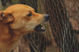 Els gossos grinyols al propietari