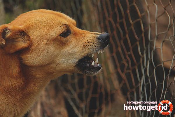 Hund knurrt den Besitzer an