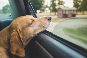 Hunden gynger i bilen