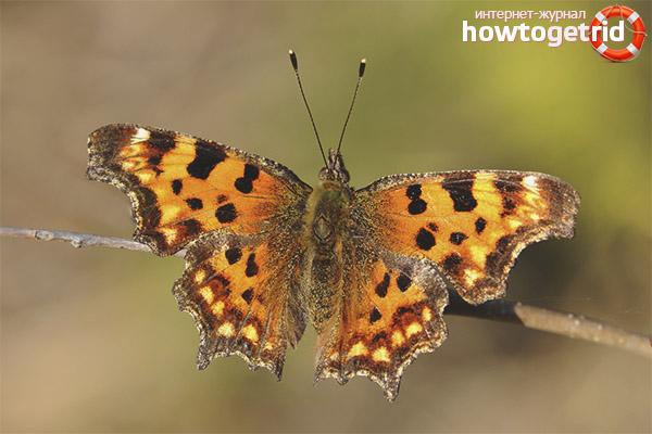 Skrzydło motyla