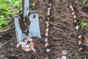 Hur man bearbetar vitlök innan du planterar på vintern