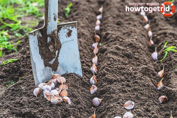 Wie man Knoblauch vor dem Pflanzen im Winter verarbeitet