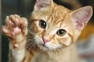 Com ensenyar a un gat o gat a donar una pota