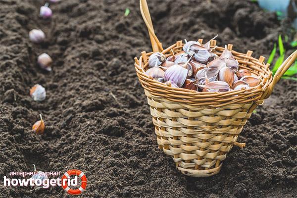 Wie man den Boden kultiviert, bevor man im Winter Knoblauch pflanzt