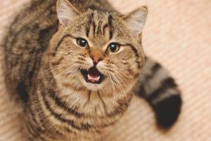 Com deslletar un gat o un gat per tallar-lo
