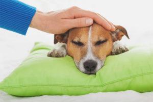 Sådan forstås en hunds temperatur