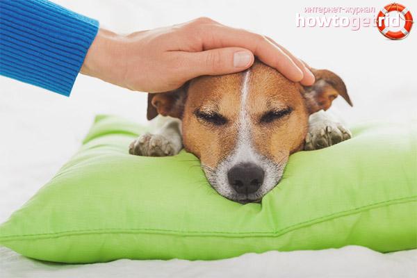 Wie man die Temperatur eines Hundes versteht