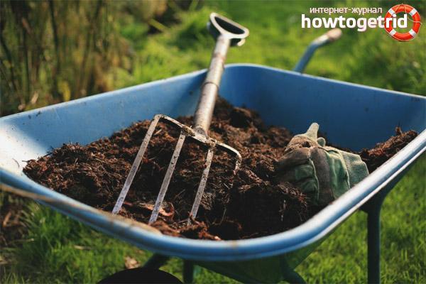 Hur man gödslar marken för vitlök