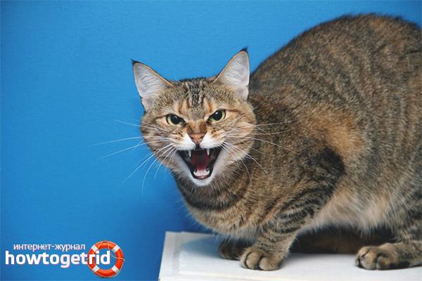 Kaķis šņāc pie īpašnieka