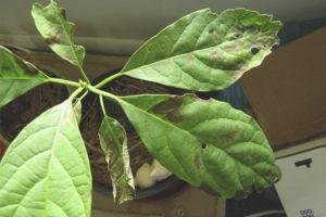 Hvorfor bliver avokado sort og tør